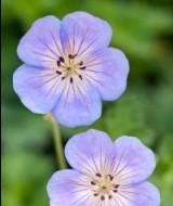 geranium-azure-rushv