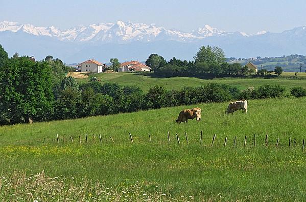 sud-des-landes-.Vaches.Orthez--0-.jpg