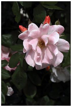 Le diable s'habille en rose…