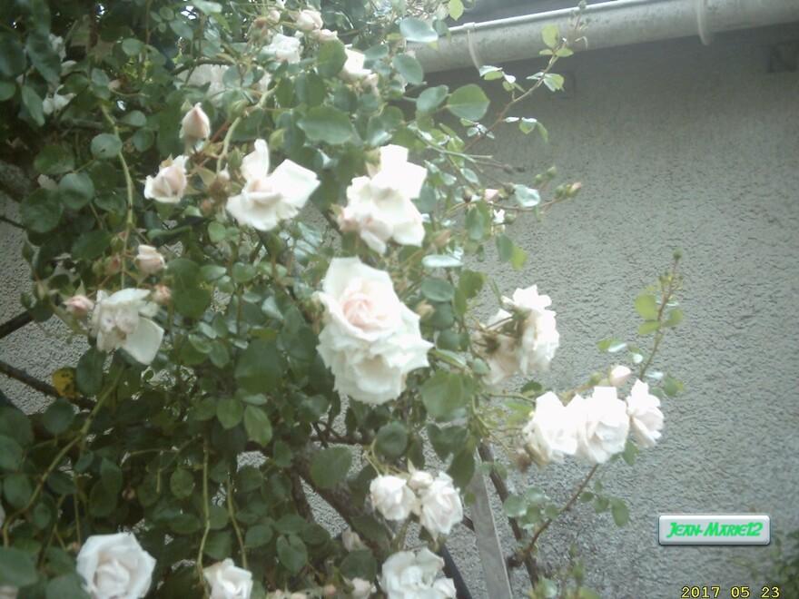 ma roseraie en 2017 toujours très belle chaque annèe;72 pieds de rosiers sa ne peut faire qu'une belle roseraie