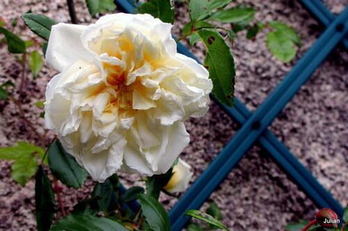 Des roses ...