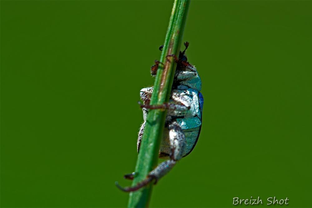 hoplie bleue, coleoptère aux reflets métal