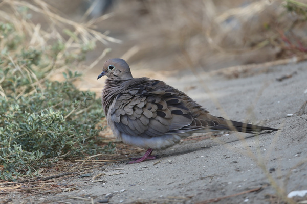 Mourning dove - Long Beach