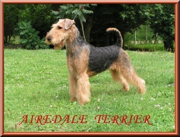 chiens-Airedale-Terrier-2ec78889-98aa-1af4-c529-eb557d3c874