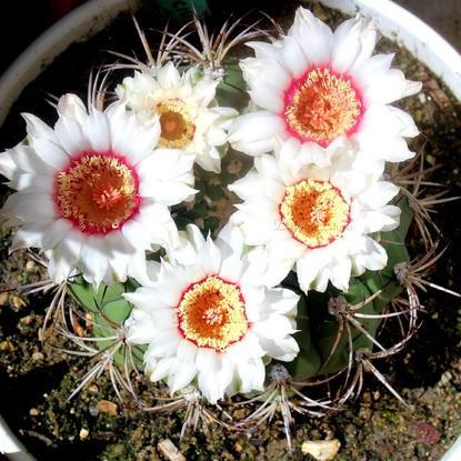 Gymnocalycium Zegarrae - Les fleurs