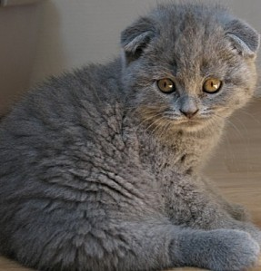 bb-scottish-fold-bleux.12698199-70617461