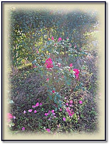 rose jardin 11 6