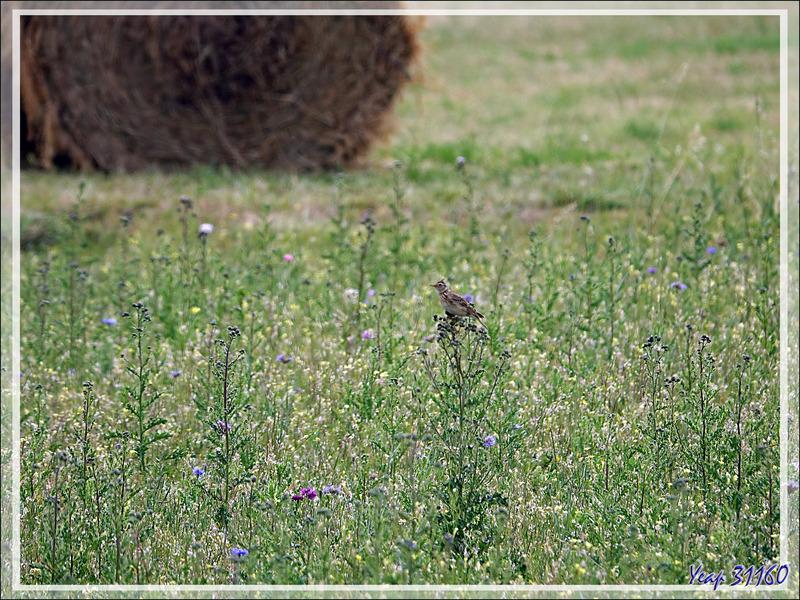 Alouette des champs, Eurasian Skylark (Alauda arvensis) - La Couarde-sur-Mer - Ile de Ré - 17
