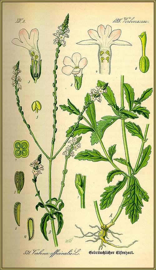 Vertus médicinales des plantes sauvages : Verveine officinale