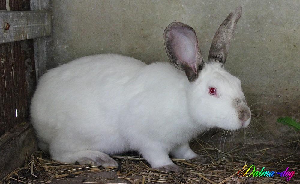 voici looping, mon nouveau lapin reproducteur!!!