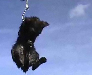 Les appâts de requins à la Réunion ( Chats et chiens )