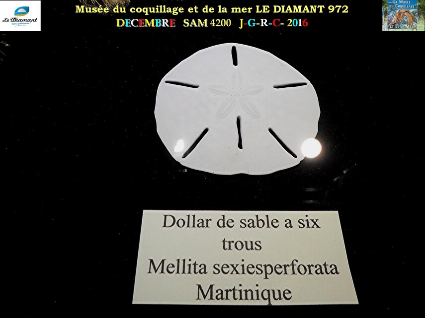 Le monde des coquillages de mer 4/5  14/    LE DIAMANT MARTINIQUE       D    12/04/2018