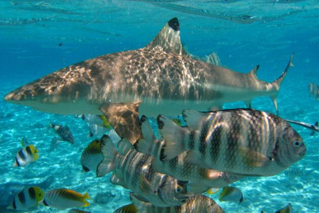 Requin à pointe noire en Polynésie