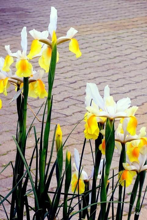 n12---Iris.JPG