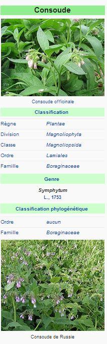 Consoude blanche (Symphytum officinale L.)