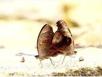 Catonephele Numilia - Costa Rica