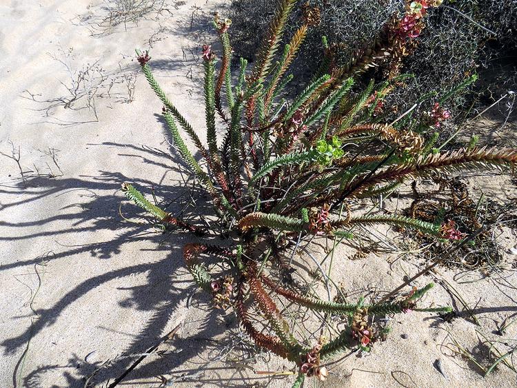 Plante des sables
