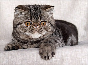 gd exotic shorthair 1