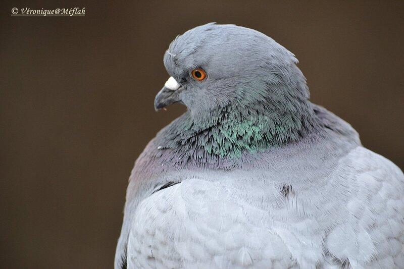 Faut-il détester et avoir peur des pigeons ?