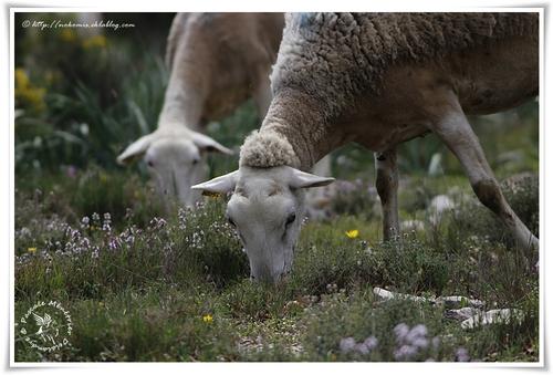 Mouton Caussenarde des garrigues