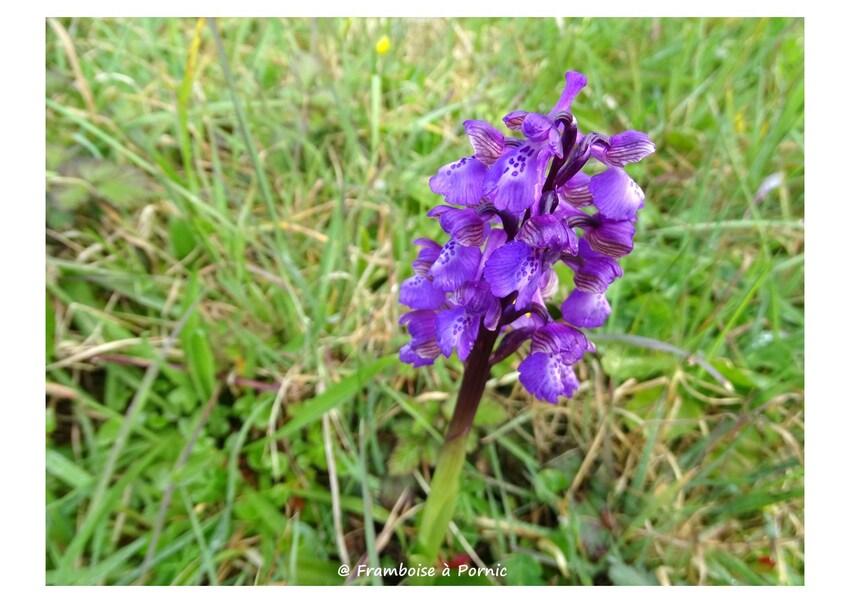 Orchidées sauvages - Préfailles - 44