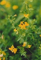 Lotier corniculé fleur