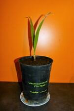 washintonia filifera n°2