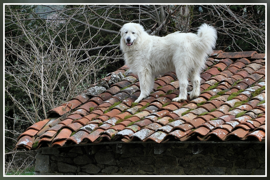 Un patou sur le toit