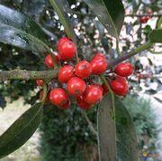 Houx-baies-visoflora-84772.jpg