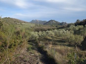 Les oliviers des Bouisses (En second plan, le Vieille Valette. Au fond, le Coudon)