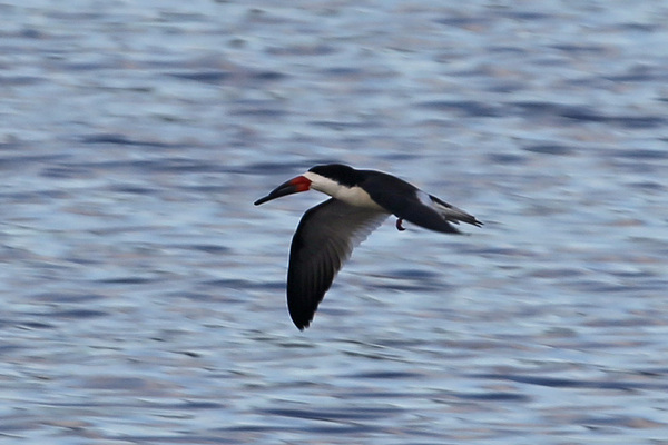 Black Skimmer - Long Beach