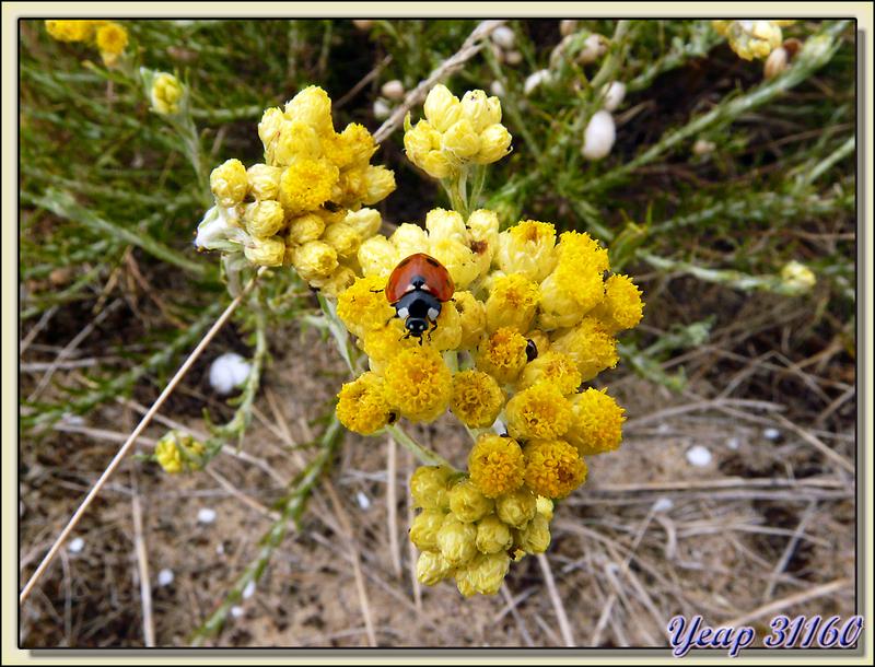 Coccinelle sur immortelle des dunes (Helichrysum stoechas) - Rivedoux - Ile de Ré - 17
