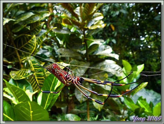 Blog de images-du-pays-des-ours : Images du Pays des Ours (et d'ailleurs ...), Araignée d'or, Golden Orb Weaver Spider (Nephila clavipes) - Arenal - Costa Rica