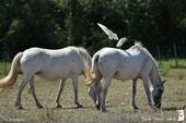 L'union sacrée des chevaux de Camargue et des Hérons garde-boeufs