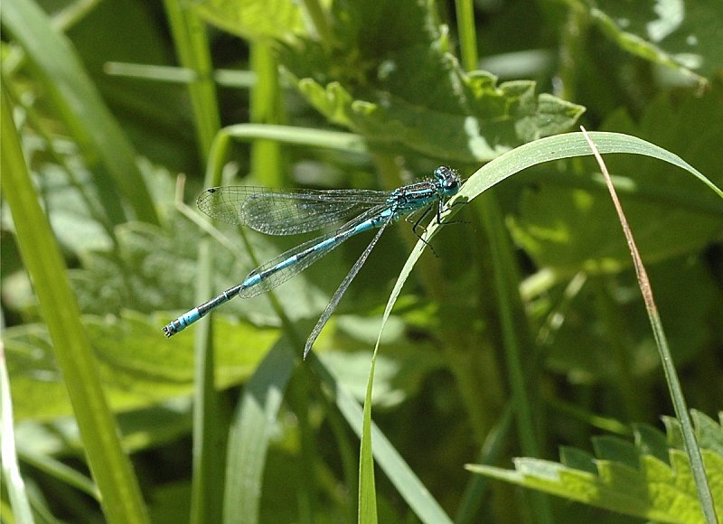coenagrion-pulchellum-male