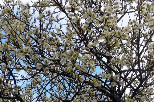 Arbre au printemps ...