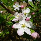 Fleurs des deux jardins - Juillet 2020 - Fleurs de pommier