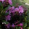 Rhododendron ferrugineux (Rhododendron ferrugineum)