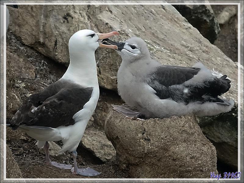 Nourrissage des poussins Albatros à sourcils noirs, Black-browed Albatross (Thalassarche melanophris) - Coffin's Harbour - New Island - Falkland (Malvinas, Malouines) - Grande-Bretagne