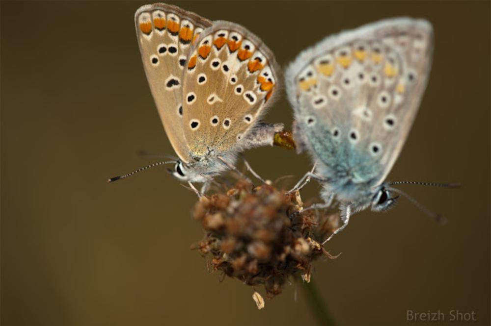 argus bleu nacré : accouplement