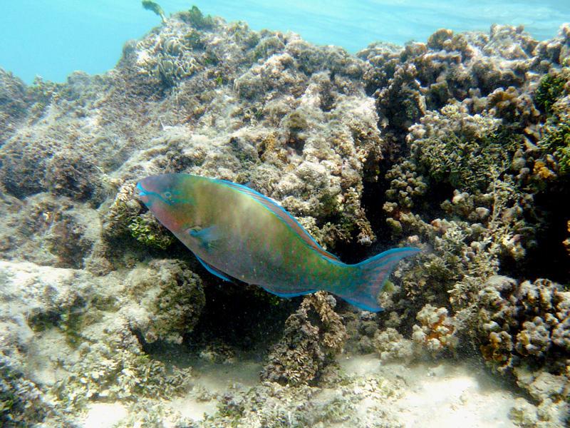 Poisson perroquet multicolore - Moorea - Polynésie française