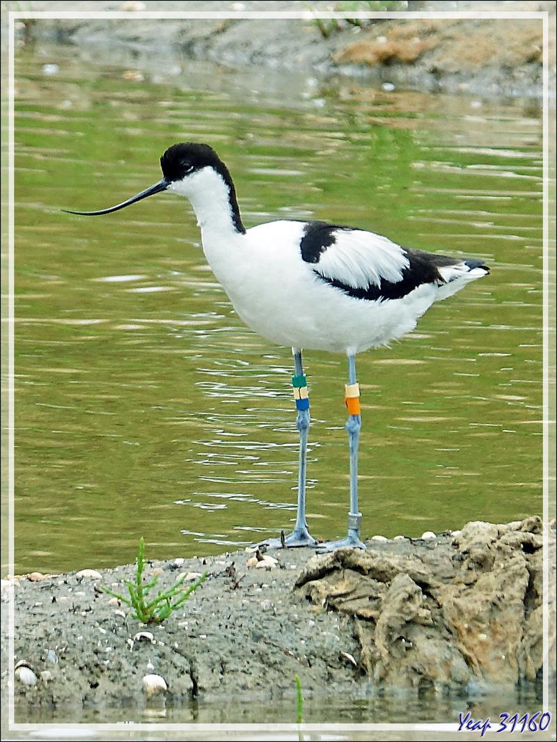 Avocette élégante, Pied Avocet (Recurvirostra avosetta) - La Couarde-sur-Mer - Ile de Ré - 17