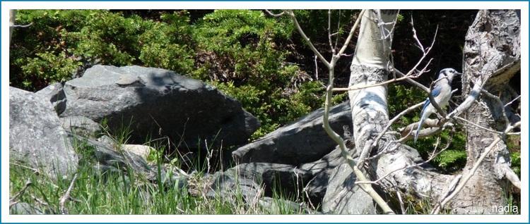 Le geai bleu.(1) dans la forêt.