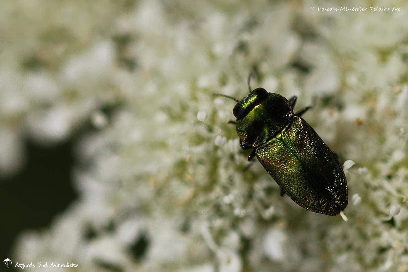 Anthaxia fulguran ♀ - Buprestes