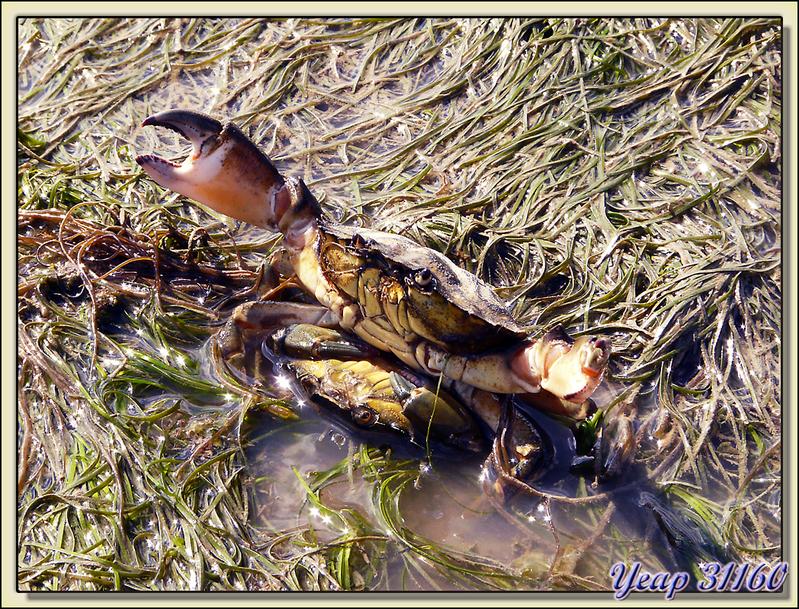 """Crabes """"missionnaires"""" (Interdit aux moins de 12 ans) - Phare des Baleines - Ile de Ré"""