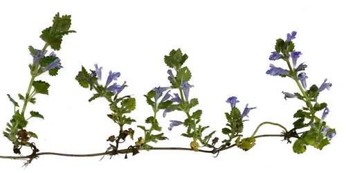 Vertus médicinales des plantes sauvages : Lierre terrestre