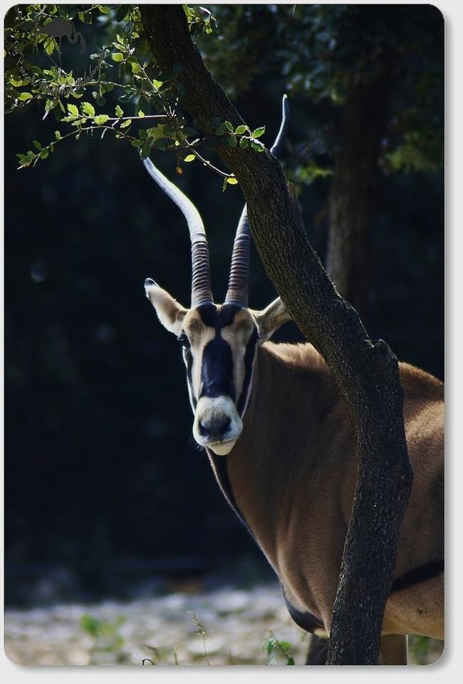 Oryx Beïsa...