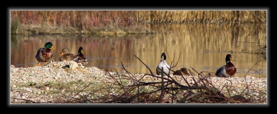 Canards colverts femelle et mâles...