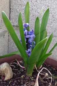 """Jacinthe """"Blue Jacket"""" ou Hyacinthus"""
