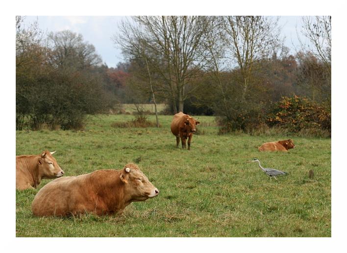 Des hérons cendrés parmi les vaches